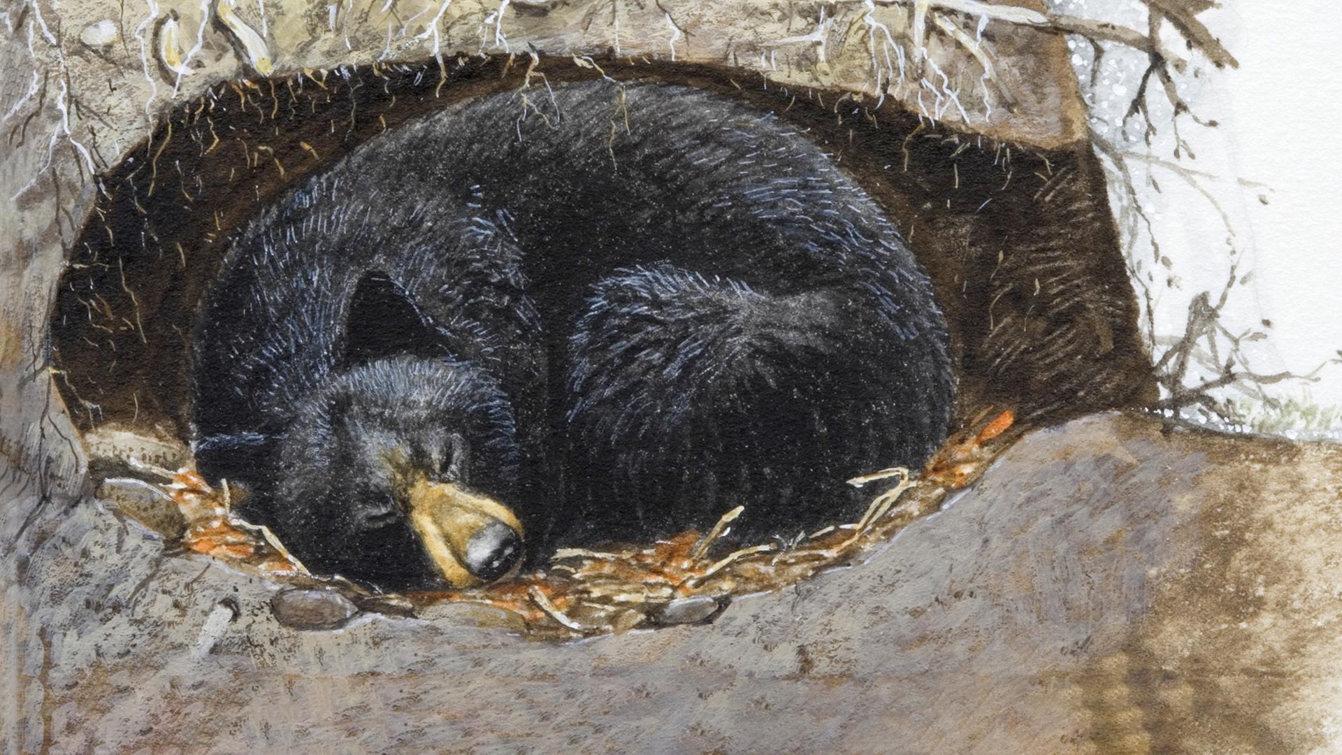 urșii pierd greutatea când se hibernează