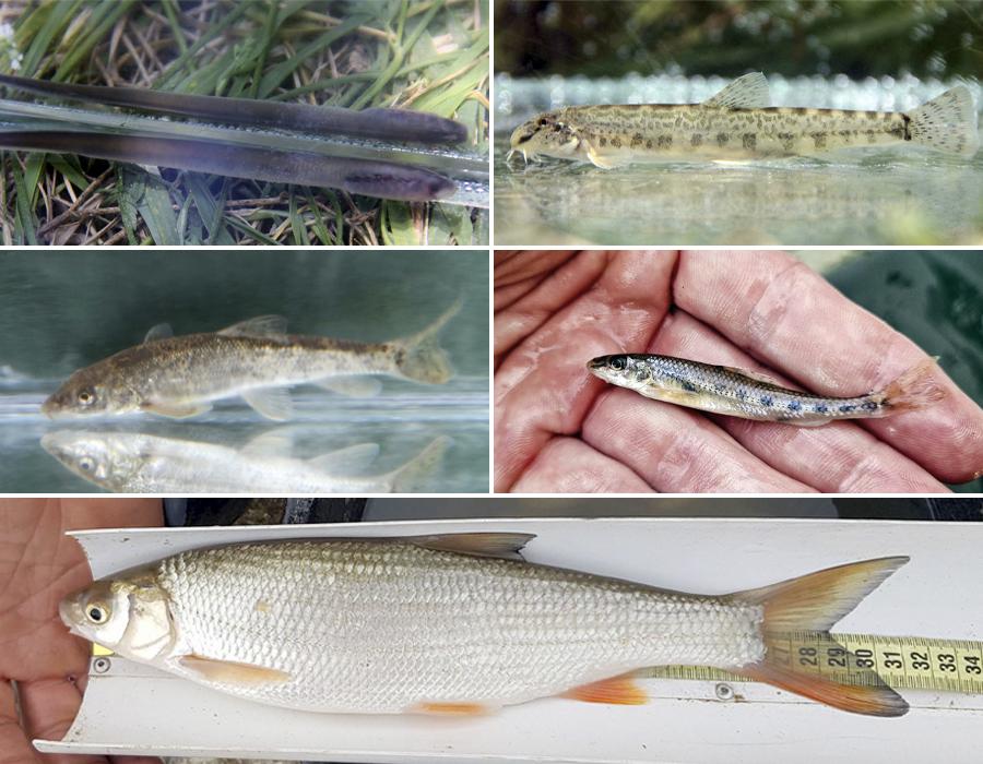 Peștii de pe râul Gilort: chișcarul, dunărița, mreana vânătă, porcușorul de nisip, scobarul. Foto: Fish for Life