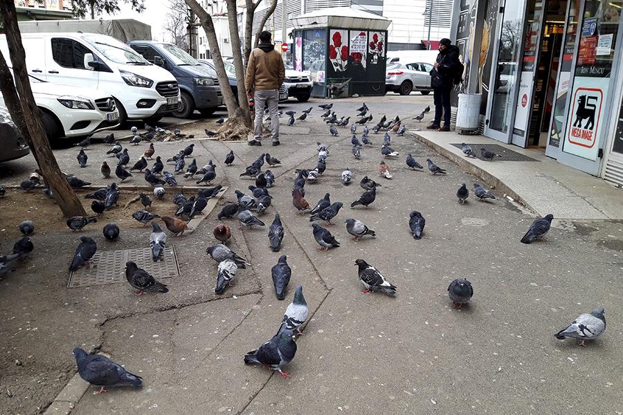 Porumbeii formează stoluri mai mari acolo unde găsesc hrană