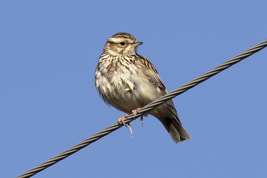 Mindcraftstories_Ciocarlia-Alaudidae-Pasari cantatoare-Etologie-Ornitologie_Zeynel Cebeci Wikimedia Commons
