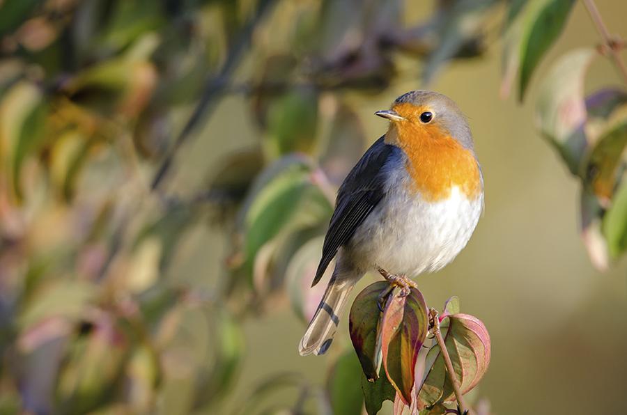 Mindcraftstories_Macaleandrul-Erithacus rubecula-Pasari cantatoare-Etologie-Ornitologie_Deepak Sundar Wikimedia Commons