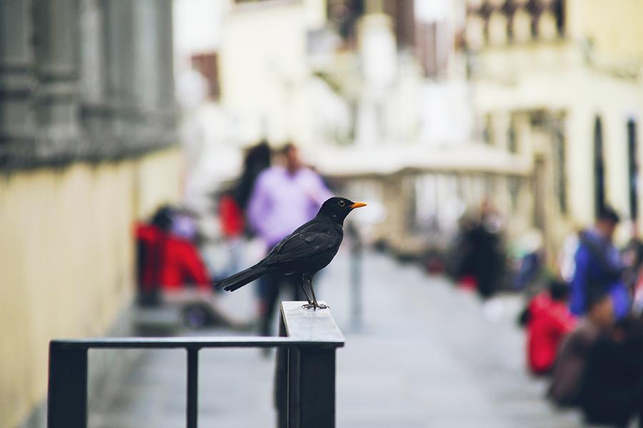 A blackbird (Turdus Merula) perching on a railing