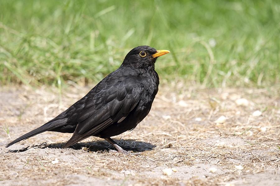 Mindcraftstories_Mierla-Turdus merula-Pasari cantatoare-Etologie-Ornitologie_Musicaline Wikimedia Commons