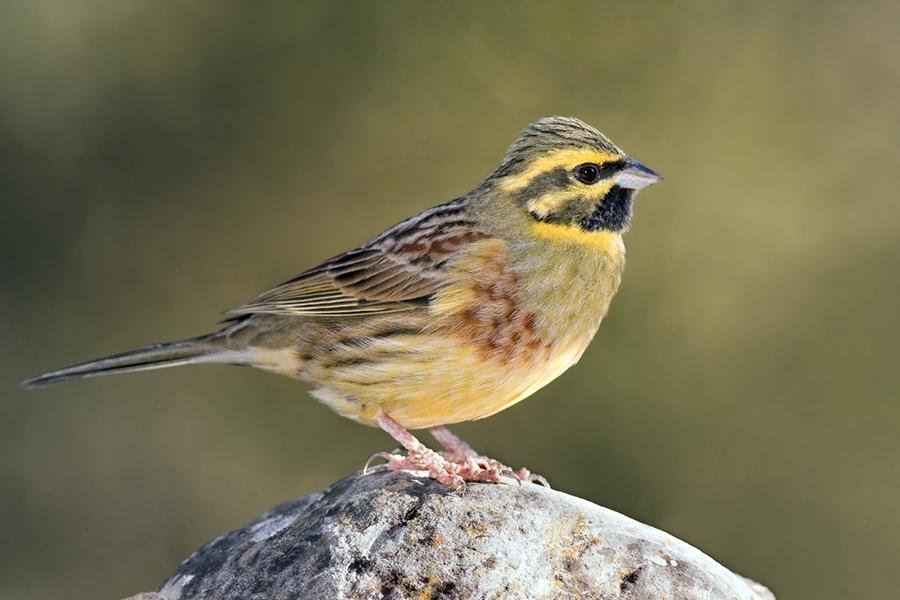 Mindcraftstories_Presura-Emberiza-Pasari cantatoare-Etologie-Ornitologie_Paco Gómez Wikimedia Commons