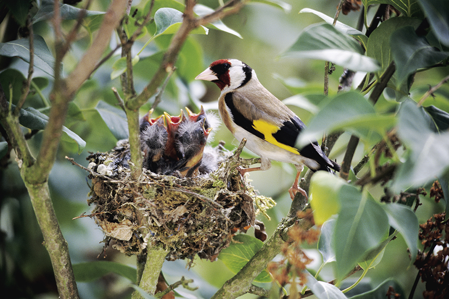Goldfinch at the nest with hungry chicks Naturfoto-Honal-Getty-Images