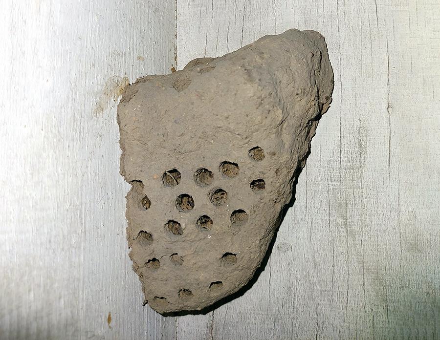 Mindcraftstories_Cuib realizat de viespea de noroi-Sceliphron destillatorium_01_Muzeului de Istorie Naturala Grigore Antipa