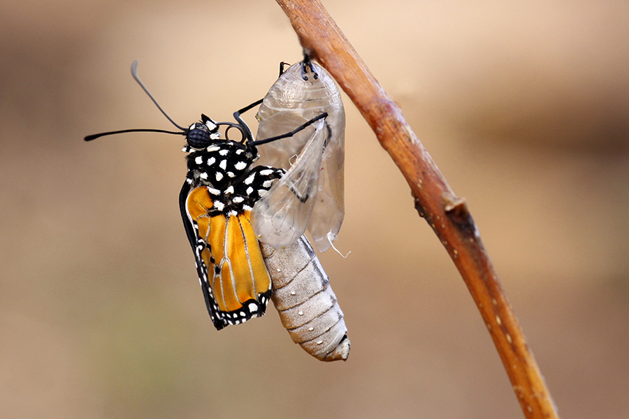 swallowtail butterfly emerging from cocoon