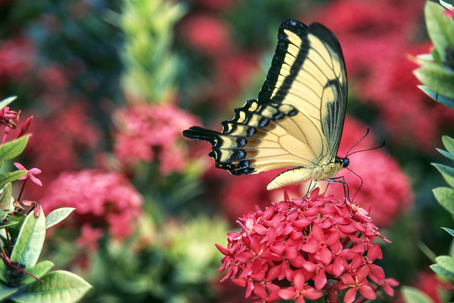 https://mindcraftstories.ro/images/2021/06/Mindcraftstories_fluturi-biodiversitate-importanta-ecosistemelor-ecologie-urbana-Papilio-Homerus_02_V.-Giannella-De-Agostini-via-Getty-Images.jpg