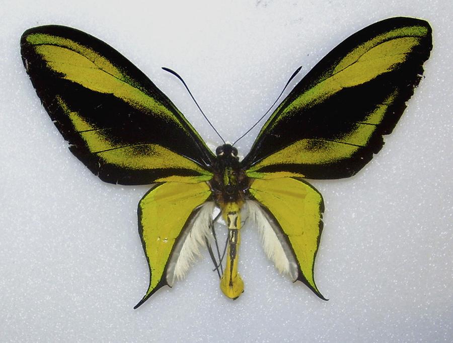 https://mindcraftstories.ro/images/2021/06/Mindcraftstories_fluturi-biodiversitate-importanta-ecosistemelor-ecologie-urbana-Papilio-Paradisea_04_Robert-Nash-Wikimedia-Commons.jpg