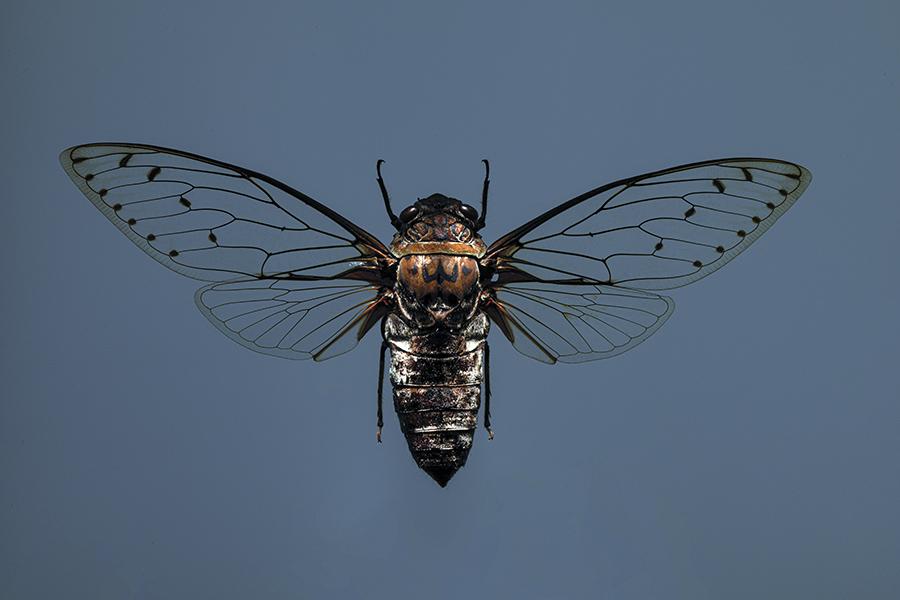https://mindcraftstories.ro/images/2021/09/Mindcraftstories_Cicade-Obiceiurile-insectelor-Sunetul-cicadelor-Ecologie-urbana-My-Antipa_Jonathan-Knowles-Getty-Images.jpg