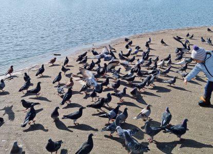 Câte ceva despre ecologia comportamentală. Care este legătura dintre porumbei și traficul urban?