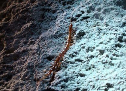 Regele Peșterii: Micul miriapod care face legea în Peștera Movile