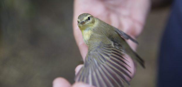Păsări cu inele: descifrarea puzzle-ului migrației